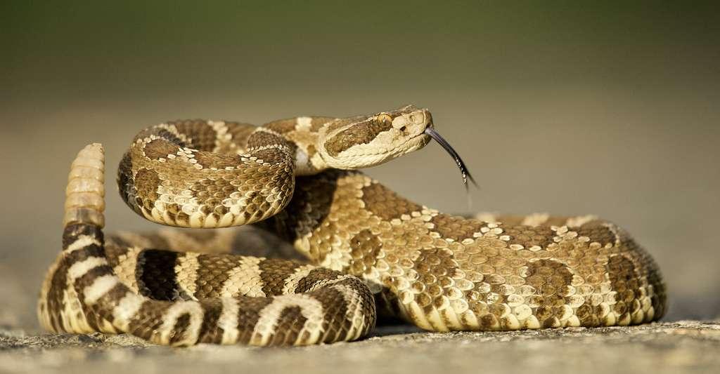 sPLA2-IIA présente des similitudes avec une enzyme active dans le venin du serpent à sonnette. © tomreichner, Adobe Stock