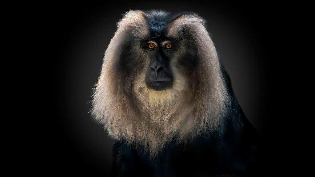 Le macaque à queue de lion en grave danger d'extinction