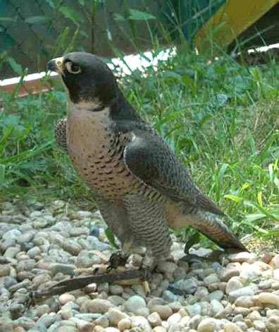 Faucon pèlerin en captivité. © Reproduction et utilisation interdites