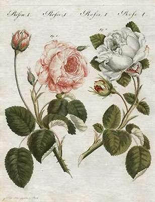 La rose Rosa centifolia. © DR