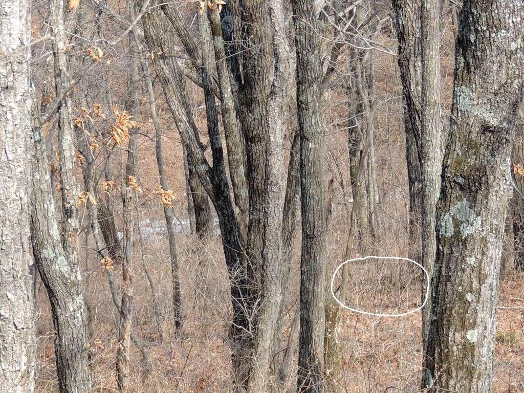 On distingue le dos de l'animal avec ses tâches claires caractéristiques entre les branches d'arbre. © Land of the Leopard Nature Reserve, Facebook