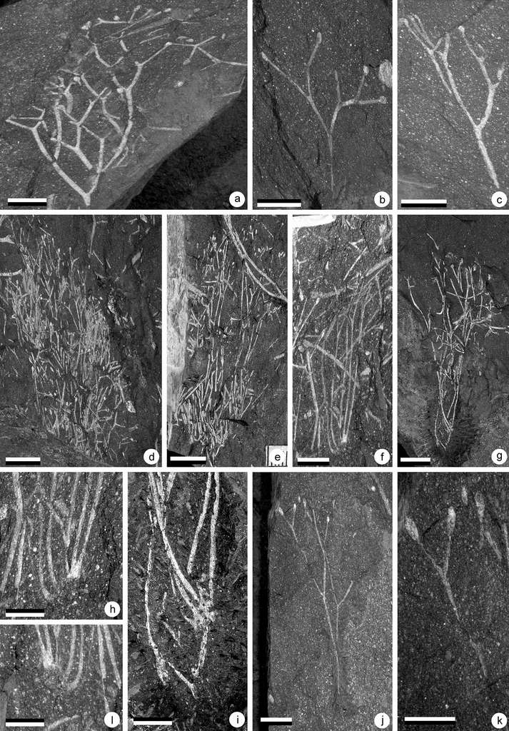 Fossiles de Krommia parvapilla (a-c) et Elandia itshoba (d-l), deux des nouvelles espèces découvertes. © Université de Liège