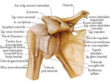 Articulation de l'épaule. © DR