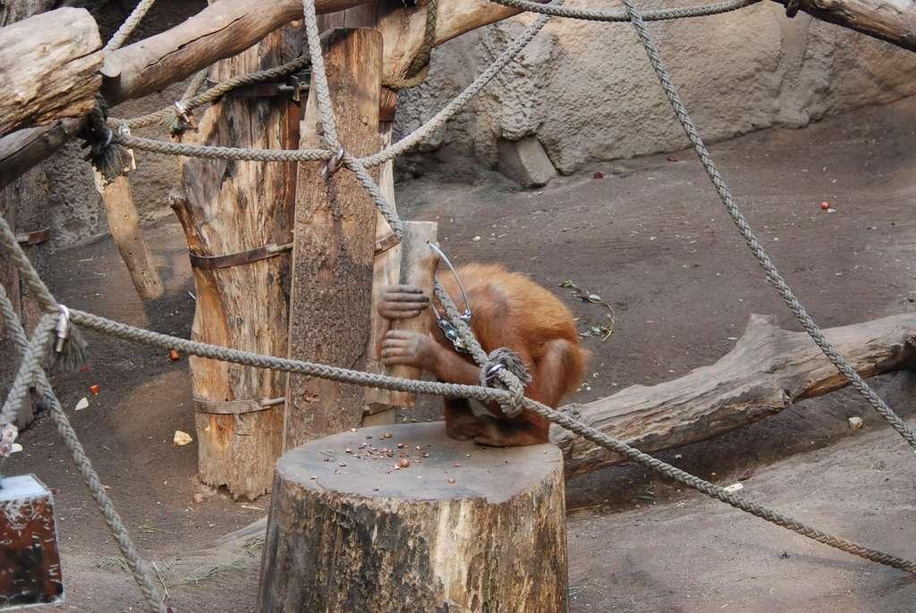 Padana, une femelle orang-outan du zoo de Leipzig (Allemagne) a appris toute seule à utiliser un outil pour casser des noix. Elle a continué, même après la fin de l'étude menée par les chercheurs. © Université de Tübingen