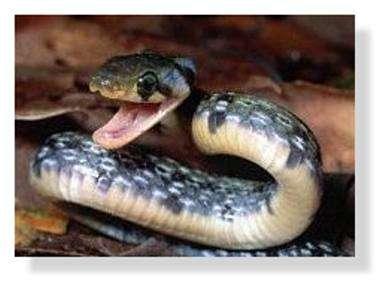 Les morsures les plus fréquentes n'impliquent pas des serpents « exotiques » mais des vipères. © DR