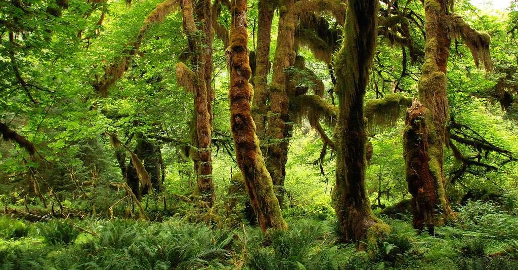 Forêt primaire au Canada. © MrsBrown, DP