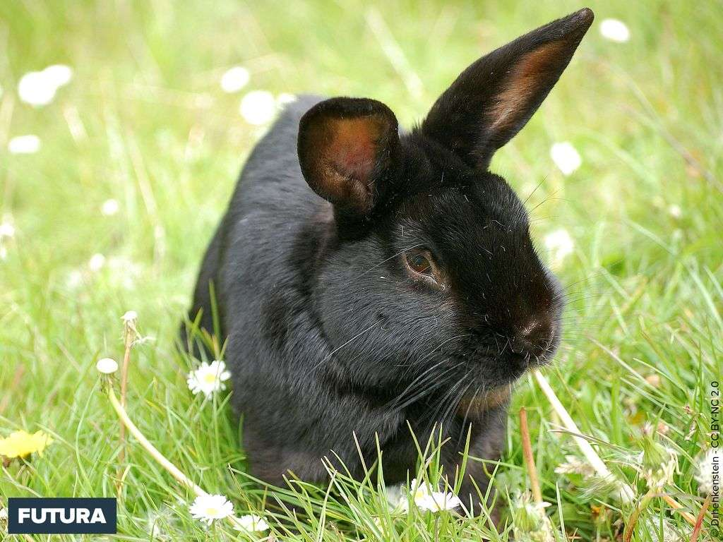 Lapin noir dans l'herbe