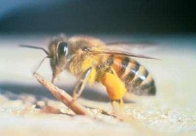 En butinant les fleurs pour en récolter le pollen et le nectar, les abeilles assurent la fécondation des plantes. Elles sont en partie attirées par la réflectance des corolles et par un motif invisible à l'Homme puisque placé dans le spectre des ultraviolets. © Larsinion, Wikimedia Commons, domaine public