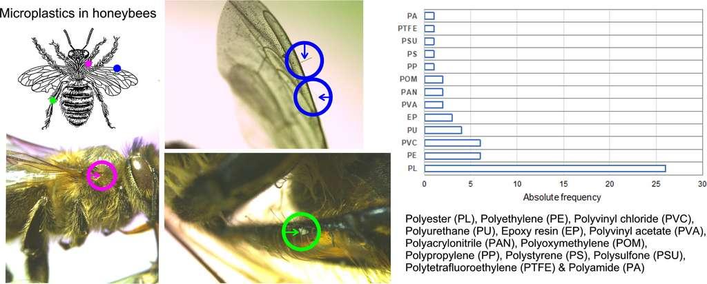 La localisation des fibres et fragments de microplastique sur les insectes ainsi que leur nature. © Carlos Edo et al. Science of the Total Environment
