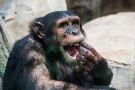 Chimpanzé dans un parc zoologique en France le 1er août 2018. © Guillaume Souvant, AFP, Archives