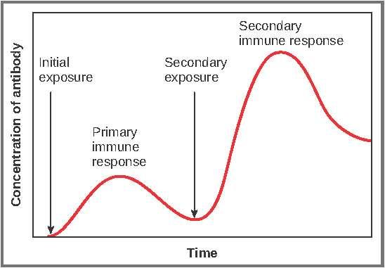 La deuxième dose amplifie l'activation des cellules du système immunitaire et entraîne une réponse plus intense et prolongée. © DR