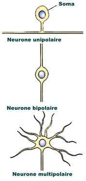 On distingue plusieurs classifications de neurones selon le nombre de neurites, leur forme anatomique, leur fonction et le type de neurotransmetteurs qu'ils sécrètent. © DR