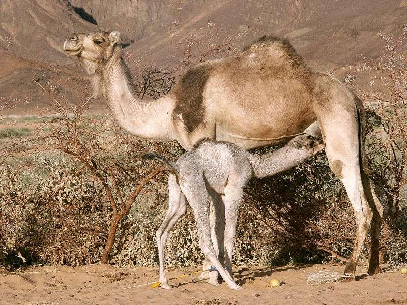 Chamelon tétant sa mère. Le jeune chameau reste auprès de sa mère jusqu'à deux années après la naissance. © Garrondo, Wikipédia, cc by sa 3.0