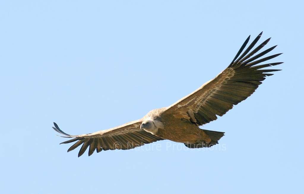 À la recherche de cadavres, le vautour fauve joue le rôle d'équarrisseur naturel. © C. Aussaguel, DR