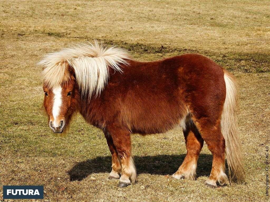 Poney shetland dans le Sussex