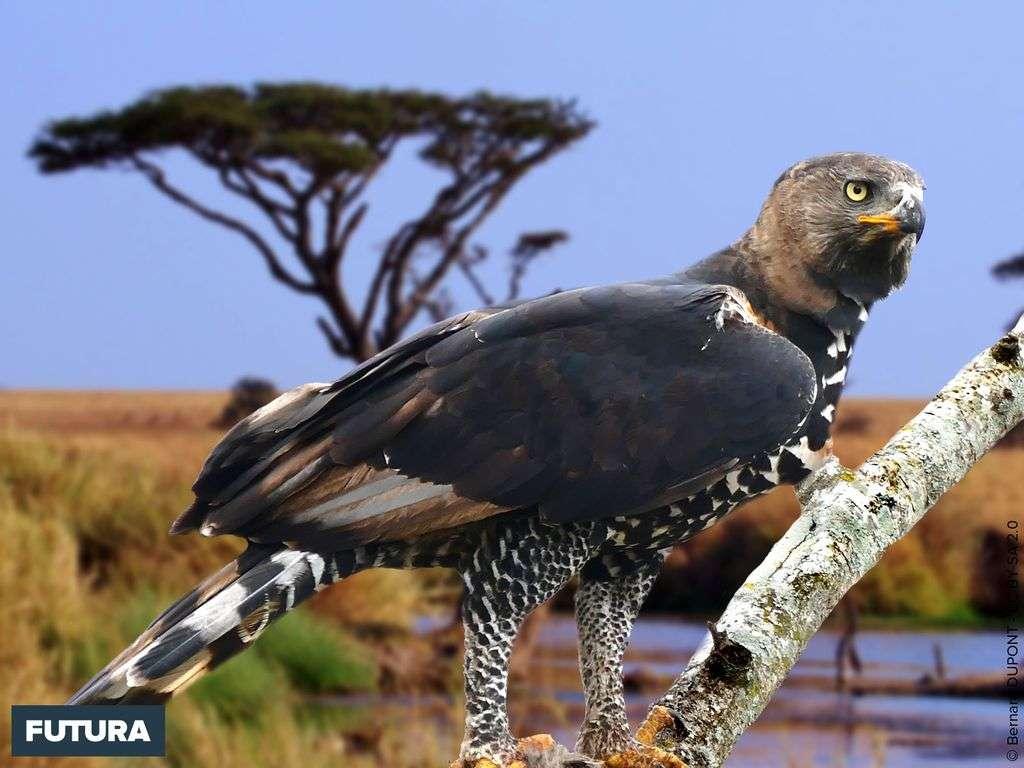 Aigle couronné avec une double crête érectile