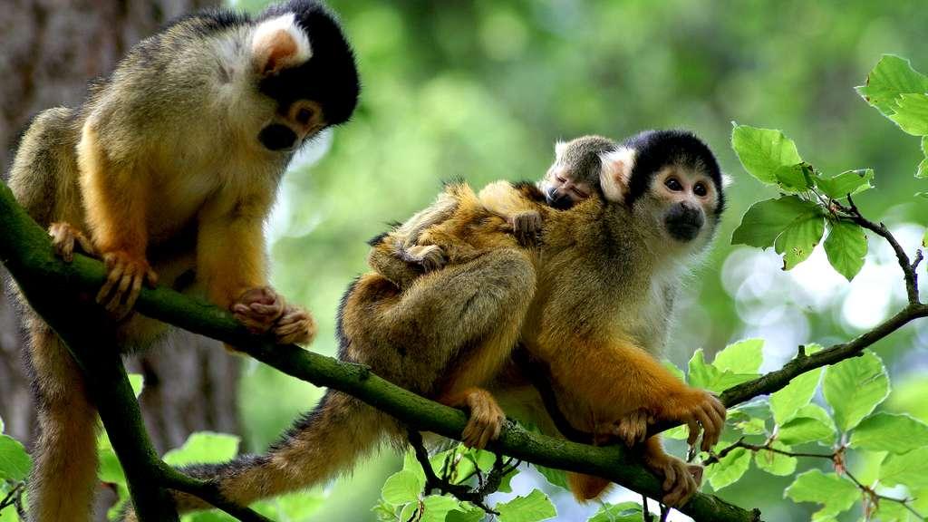 Photo de singe-écureuil, ou saïmiri
