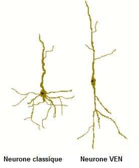 Ce schéma montre la différence structurelle entre un neurone classique et un neurone VEN. Les dendrites, ces excroissances qui captent l'information nerveuse partent dans tous les sens dans les cellules nerveuses classiques, leur conférant une structure pyramidale. Pour les neurones à fuseau, un seul prolongement part du cœur du neurone, à l'opposé de l'axone (impliqué lui dans la transmission de l'information nerveuse). © Skelnet, Wikipédia, cc by sa 2.5
