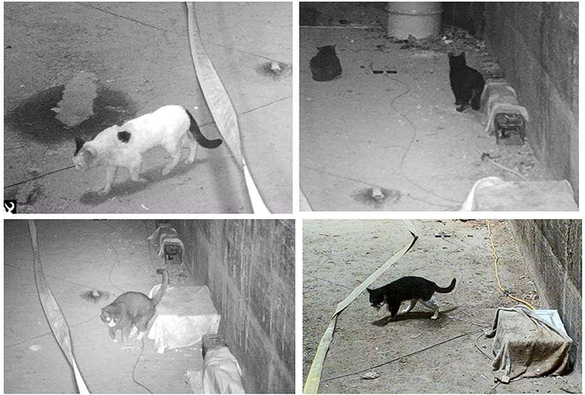 Les chercheurs ont observé les chats et les rats vivant sur un même territoire grâce à des caméras de surveillance. © Michael H. Parsons et al., Front. Ecol. Evol.