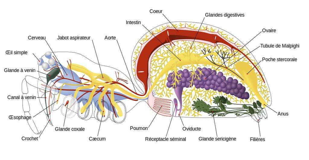 Anatomie de l'araignée. © John Henry Comstock, Wikimedia Commons, CC by 3.0