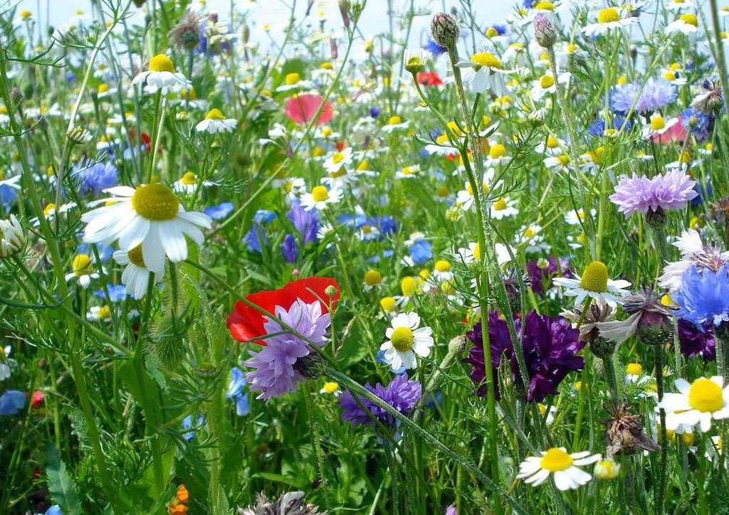 Le gazon fleuri peut être une bonne manière d'éviter la tonte hebdomadaire. © DR