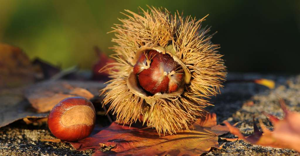 Pourquoi une plante fleurit-elle puis donne-t-elle des fruits ? Ici, des châtaignes, c'est-à-dire le fruit comestible du Châtaignier. © Böhringer Friedrich, CC by-nc 2.5