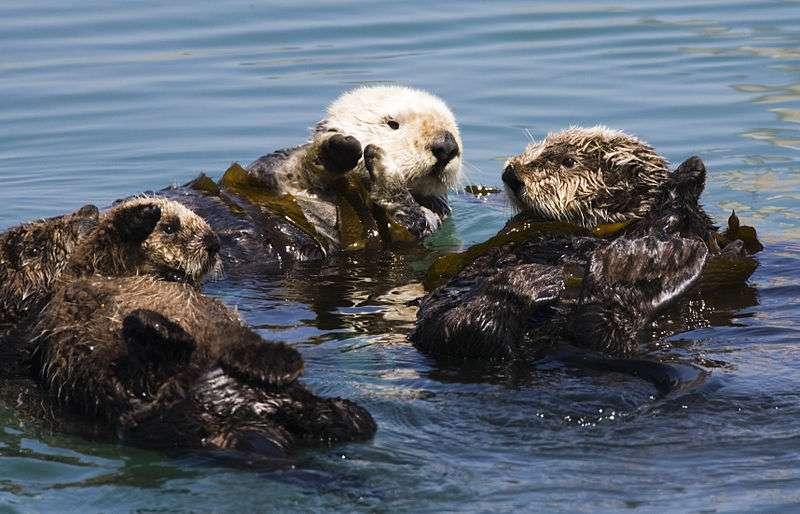 Groupe de loutres entortillées dans du kelp. © Mike Baird from Morro Bay USA, CCA 2.0 Generic license