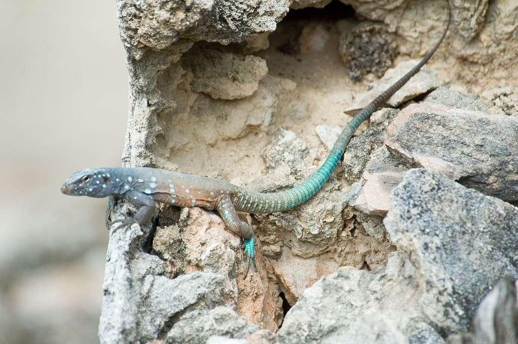 Parthénogenèse : des lézards qui se reproduisent tout seuls