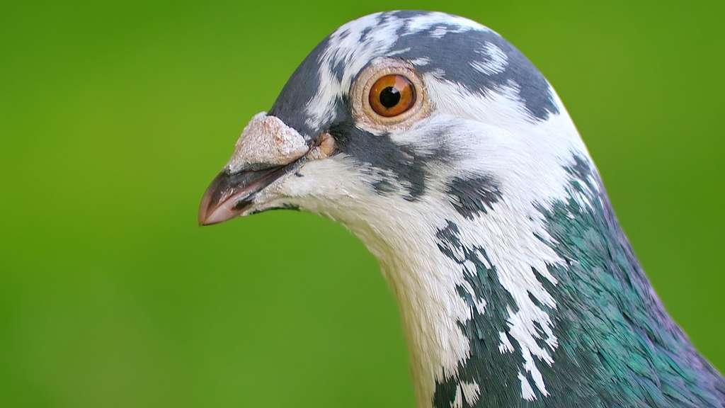Un pigeon de ville