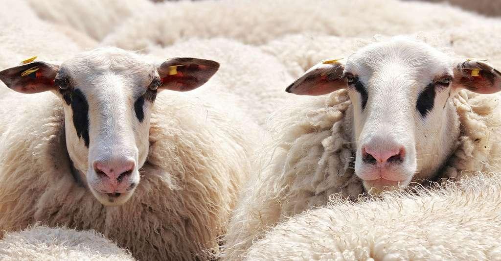 Moutons. © Pixel2013, Pixabay, DP