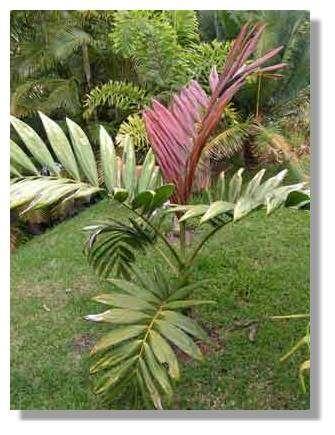 Le palmier endémique Chambeyronia macrocarpa © J.J. Espirat