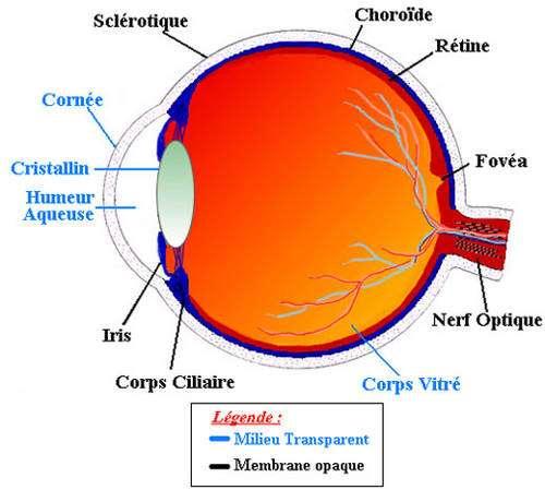 Schéma de l'œil. © Reproduction et utilisation interdites