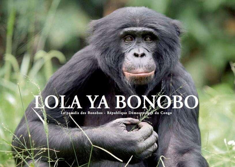Le sanctuaire Lola Ya Bonobo est un paradis pour les bonobos. © DR