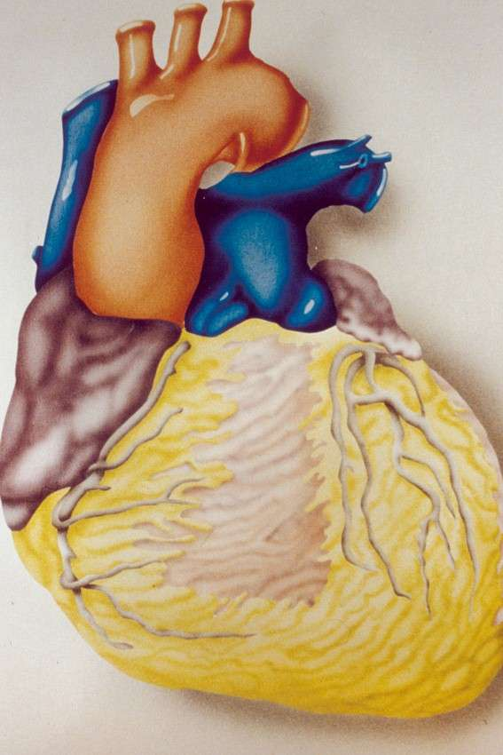 À terme, si cette voie de recherche fait ses preuves, l'idée serait de réparer des régions du cœur endommagées voire, dans un avenir plus lointain, reconstituer entièrement l'organe rajeuni in vitro. © Inserm