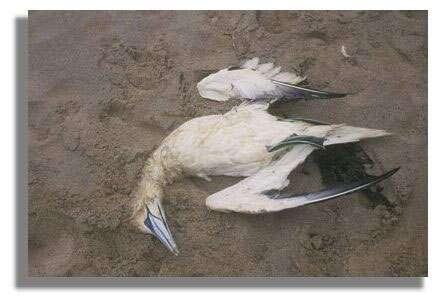 Ce fou de bassan est mort à cause des hydrocarbures - littoral85.com ©2003