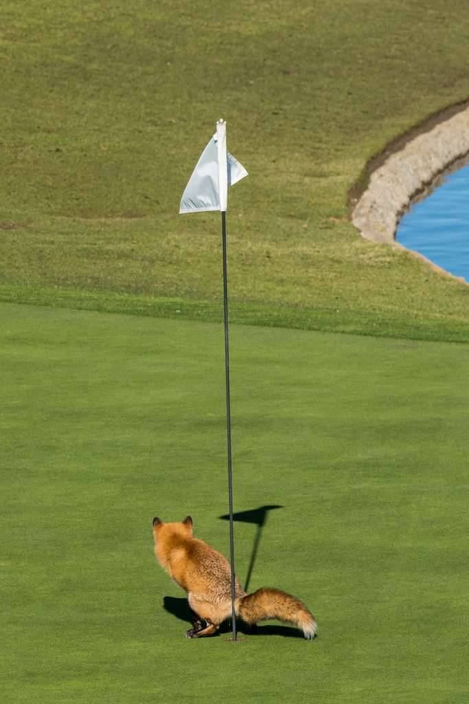 Attention en récupérant vos balles de golf ! © Douglas Croft, Comedy Wildlife Photography Awards