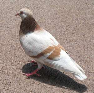 Le pigeon, sensible aux œuvres de Picasso ? La question a valu un prix Ig Nobel de psychologie ! © DR