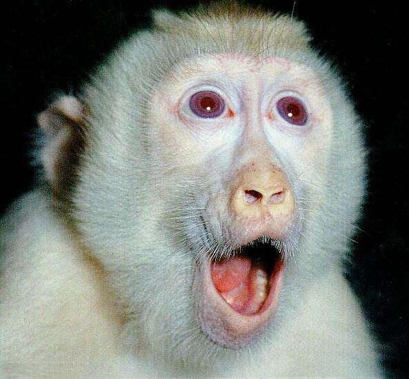Macaque albinos