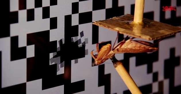 Pour mener leur étude sur la vision 3D de la mante religieuse, les chercheurs de l'université de Newcastle au Royaume-Uni ont imaginé des tests qui cherchent à tromper sa perception de la profondeur de champ. Des images 3D simulent des objets s'approchant de l'insecte afin de déclencher chez lui un geste d'attaque. La mante est filmée grâce à deux caméras et ses réactions électrophysiologiques enregistrées par des électrodes. © Institute of Neuroscience, université de Newcastle