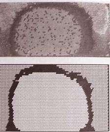 La méthode de l'artificiel a déjà fait ses preuves dans de nombreux domaines de recherche. Elle a par exemple permis de comprendre comment les structures sociales et les structures architecturales qui caractérisent les sociétés d'insectes comme les abeilles ont pu se former. Ici, on montre (en haut) une photographie de la distribution des œufs, du pollen et du miel à l'intérieur d'une ruche. Des chercheurs ont construit des systèmes artificiels simulant l'auto-organisation de cette structure, comme on le montre sur la figure du bas. © Self-Organization in Biological Systems, Camazine et al., Princeton University Press