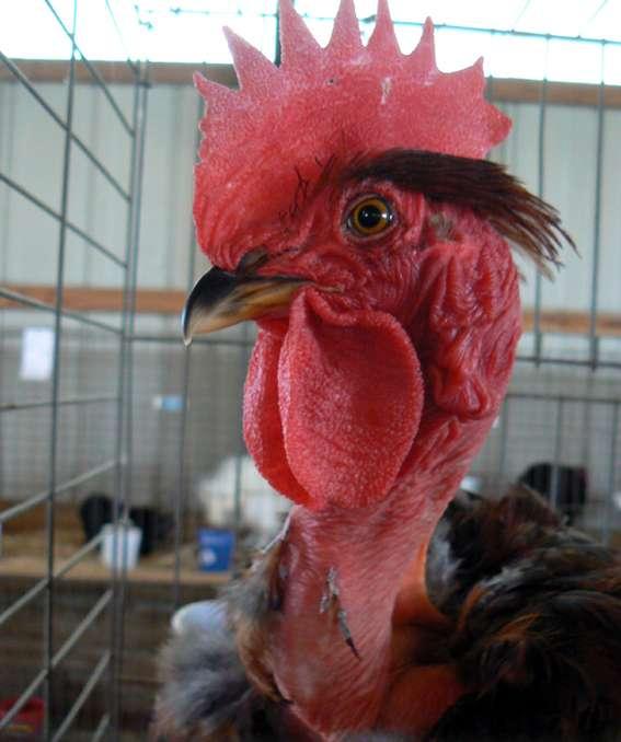 Pour éviter la question du traitement des plumes, des sélectionneurs ont réussi à produire des poulets nus, autrement dit sans plumes, une solution peu populaire. © Benny Mazur, Wikimedia Commons, cc by sa 2.0