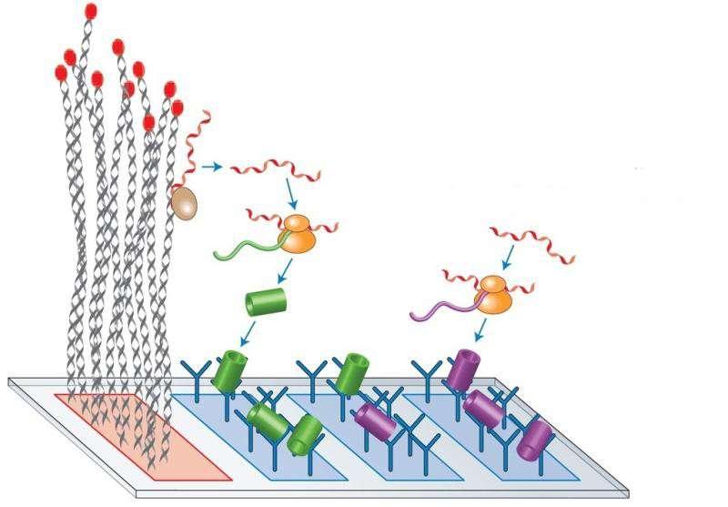 Les auteurs ont créé un système de production de complexes protéiques. Pour se faire, ils ont tout d'abord attaché de l'ADN à une puce à ADN (champ en rouge à gauche). Deux types d'ADN sont utilisés : l'un code pour une protéine fluorescente verte (GFP, cylindres verts) et l'autre pour une protéine fluorescente rouge (mCherry, cylindres violets). Les protéines sont synthétisées in vitro (grâce aux ribosomes symbolisés en jaune) et s'accrochent sur des anticorps spécifiques (en forme de Y) qui ont préalablement été attachés sur les autres régions de la puce. © Yael Heyman et al., Nature Nanotechnology