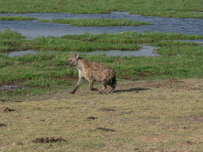 Hyène au parc d'Amboseli. © Wouter van Vliet, CCA 2.0 Generic license