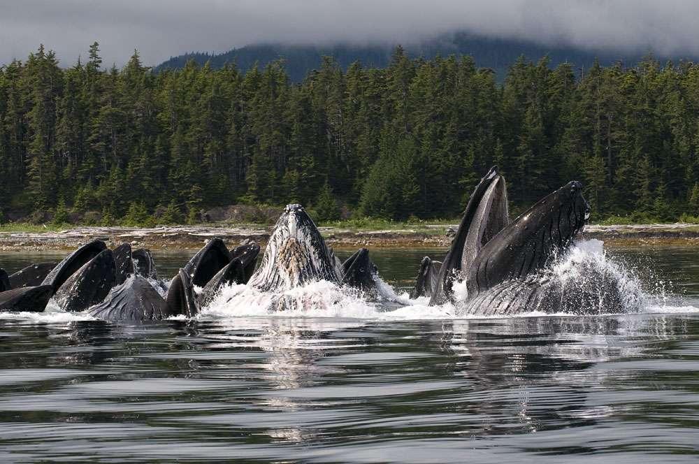 Alimentation : la nourriture des baleines à bosse