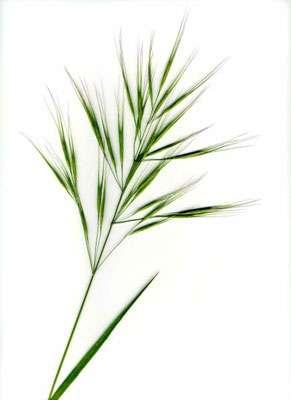 Brome stérile, exemple de graminées que l'on trouve dans les pelouses sèches. © DR
