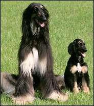 Snuppy n'a plus à s'inquiéter : il est bien le premier chien cloné du monde !