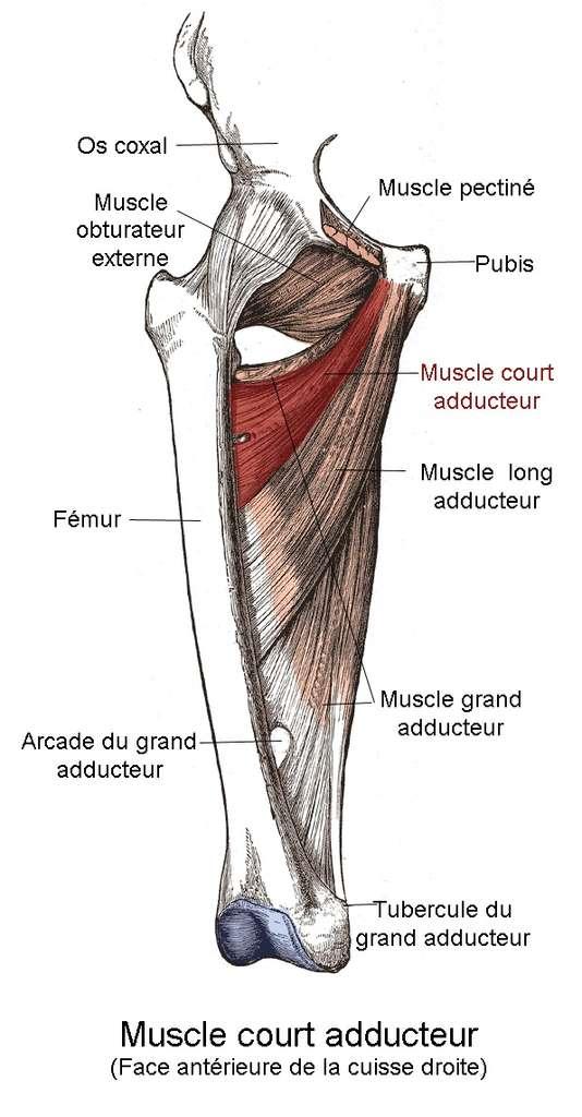 Localisation du muscle court adducteur par rapport aux autres muscles. © Berichard d'après Gray's Anatomy, Wikipedia, CC by-sa 3.0