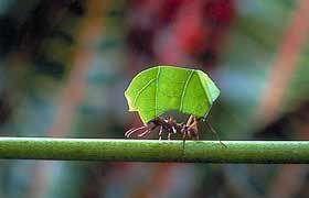 Pour ne pas perdre leur sens de l'orientation, les fourmis doivent regagner régulièrement leur fourmilière (Crédits : http://www.museum-neuchatel.ch)