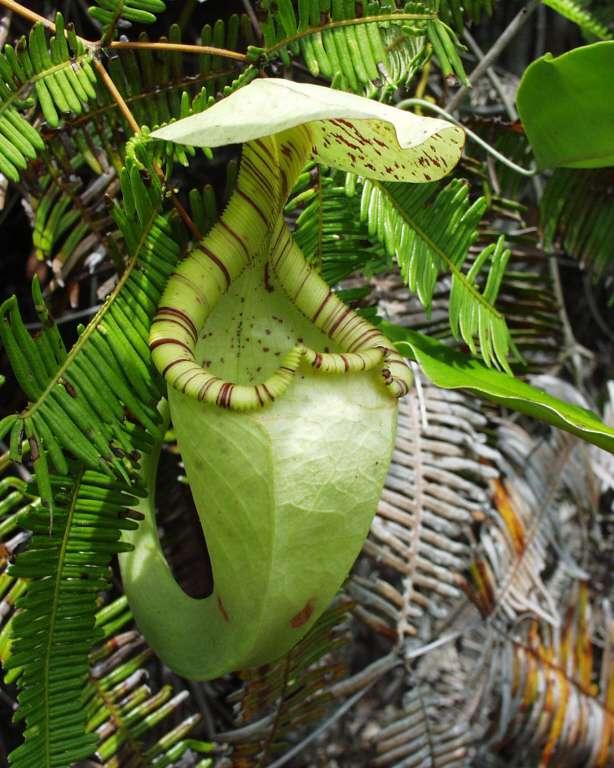 Urne du haut de la plante Nepenthes rafflesiana