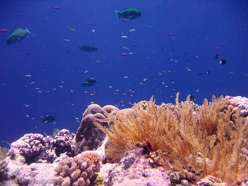 Les récifs coralliens forment un écosystème particulièrement riche. On y recense plus de 4.000 espèces de poissons. Ici, des poissons-perroquets dans le récif Osprey, dans les îles de la mer de Corail, en Australie. © Richard Ling, Flickr, by nc-sa 2.0